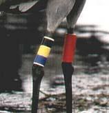 På höger ben har den en individuell färgkombination som alltid läses uppifrån, d v s svart-gul-blå.